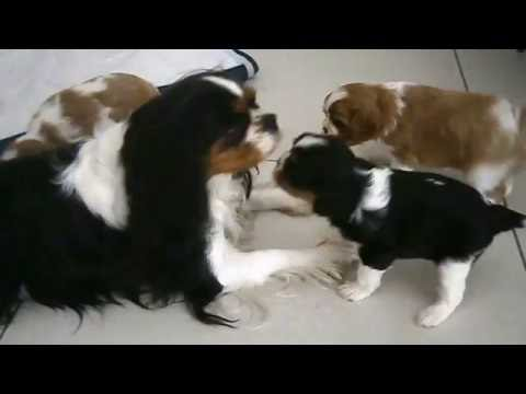 cuccioli di cavalier king...una tenerezza incredibile