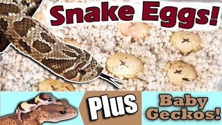 How to Prep Hognose Snake Eggs for Incubation by Snake Discovery