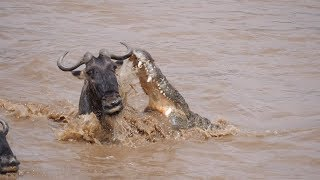 ВИДЕО Антилопа чудом спаслась от огромного крокодила.