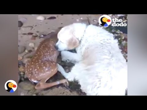 Dog Saves Deer From Drowning | The Dodo