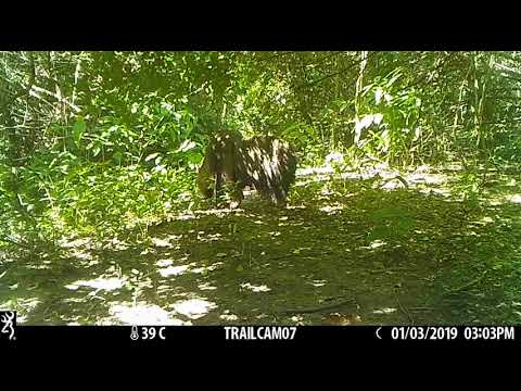 Giant anteater (Myrmecophaga tridactyla) looking for food
