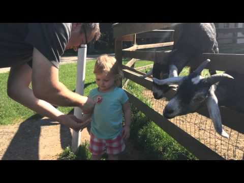 Goat Can't Wait to Eat From a Girl's Hand