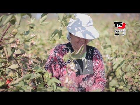 مزارعون يشكون «فساد المبيدات» في موسم جني القطن
