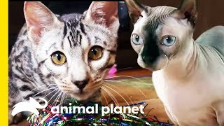 How Many Of These Incredible Cat Facts Did You Know?   Cats 101 by Animal Planet