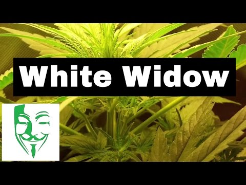 White Widow Autoflower From Seed To Flowering Period (my First Grow)