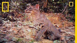 Download Video Elusive Golden Cat Filmed | National Geographic MP3 3GP MP4