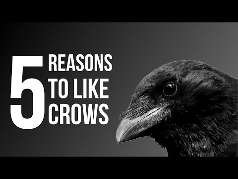 5 Reasons To Like Crows