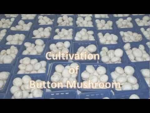 mushroom cultivation - Button mushroom Cultivation We can provide you fresh & Dry Button Mushroom, Portobello Mushroom, King Oyster Mushroom, Black, White, Pink, Grey Oyster Mushro...