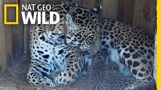 Jaguar Cubs Born in This Park for First Time in 100 Years | Nat Geo Wild by Nat Geo WILD