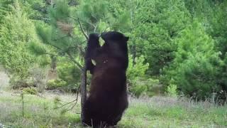 "Video Introducing a black bear named ""Bandit"" April, 2017 MP3, 3GP, MP4, WEBM, AVI, FLV Mei 2017"