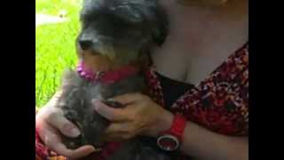 ADOPT ME: Scout, 2-3 Year Old Female Silky Terrier-Toy Poodle Mix