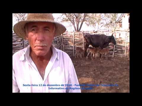 Vaca dá à luz três Bezerros de só uma vez em Tejuçuoca-Ce