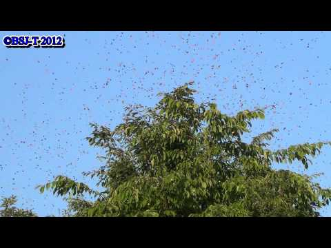 [HD] The outbreak of Japonica lutea in northern Japan