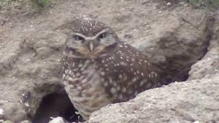 North American Wildlife --- Burrowing Owl, standing guard at the entrance to its den