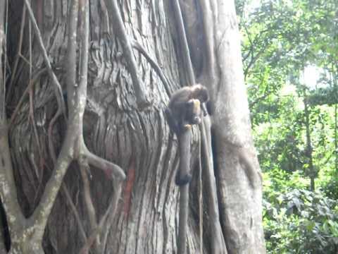 macacos em taparuba mg