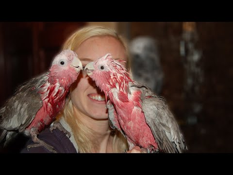 Long Galah as Pets Video