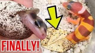 BABY LEOPARD GECKOS. HATCHING!! FINALLY!! | BRIAN BARCZYK by Brian Barczyk