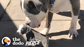 Half-Pound Pittie Puppy Grows Up with His 90-Pound Foster Brother   The Dodo Little But Fierce by The Dodo