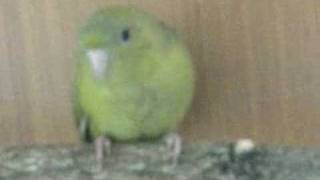 lineolated parakeet.