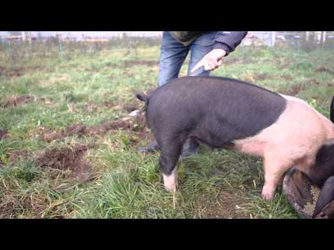 How to Safely Straighten the Curly Tail of a Pig