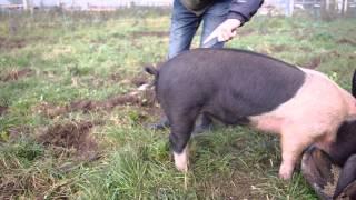 Najdziwniejszy zabieg na żywym zwierzęciu! Zobacz jak wyprostować świni ogon!