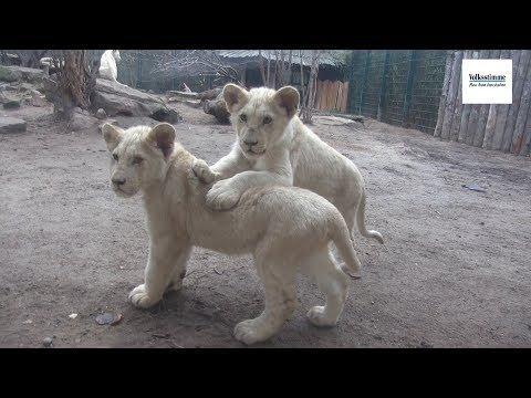 Magdeburg: Vier kleine Weiße Löwen - Löwentaufe im Zoo