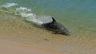 Hydroplaning Dolphins - Planet Earth - BBC Earth