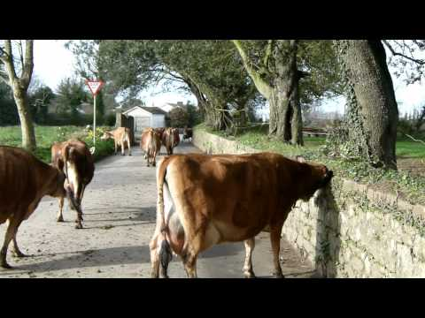 Jersey Cows going to milking