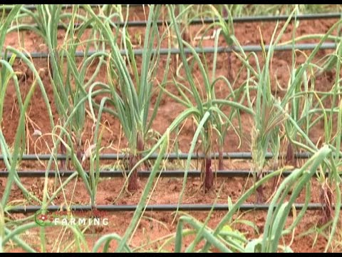 How to improve Onion production in Kenya - Part 1