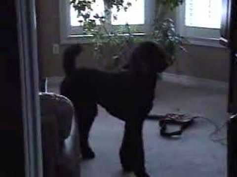 Sidney The Standard Poodle / Part 1 (видео)