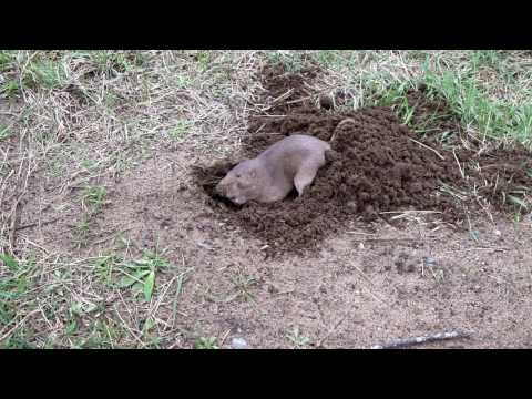 Rotta kaivaa kolon – Siinä ei kauaa mene