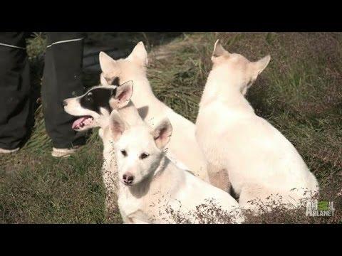 Greenland Way of Life: Raising Dogs