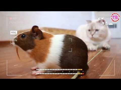 Смотреть Игрушки для девочек Свинка Пеппа КОТ и МОРСКАЯ СВИНКА Куклы завели питомцев Мультики 2016 на русском видео из ютуба - c