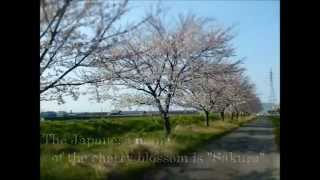 Itoigawa Japan  city pictures gallery : 桜道