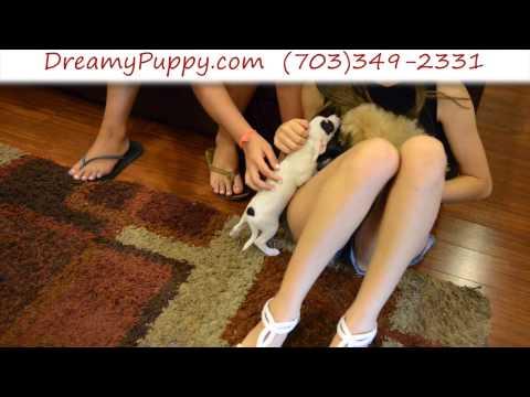 Dreamy Puppy – Toy Chihuahua Boy
