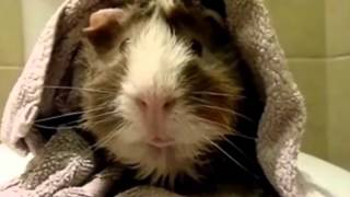 This Is Hilarious: This Guy Interviews His Guinea Pig