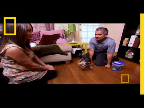 cesar millan: the aggressive yorkshire terrier!