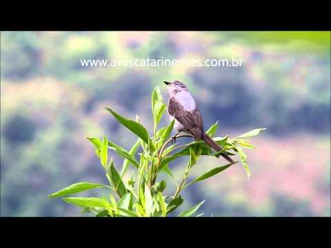 Tesoura-cinzenta - Cristiano Voitina