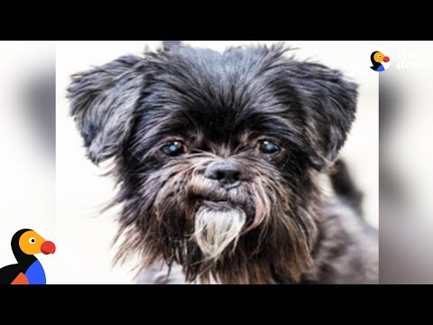 Live: Shih Tzu Dog, a Perfect Gentleman, Up For Adoption | The Dodo