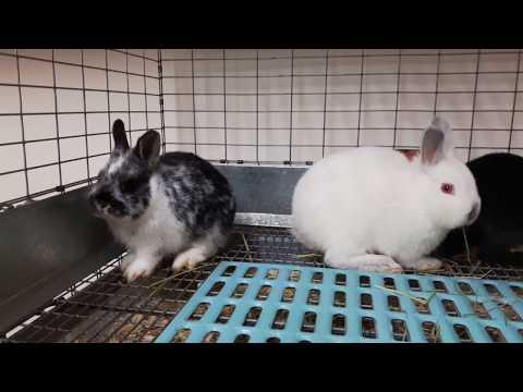 Netherland Dwarf Rabbits 9+ weeks old