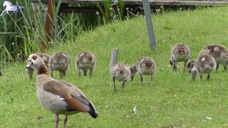 Plumed Whistling Duck and Ducklings Getting Big
