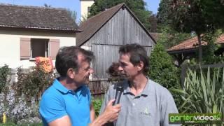 #1060 Die neue Mandevilla Dipladenia Sorte Colibri