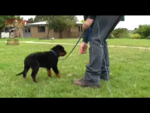 Dog training-Teaching a puppy to come and walk on lead