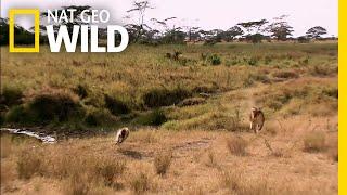 The Battle For Africa's Deadliest Predator Continues | Nat Geo Wild by Nat Geo WILD