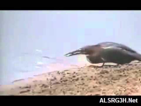 خرم الطير