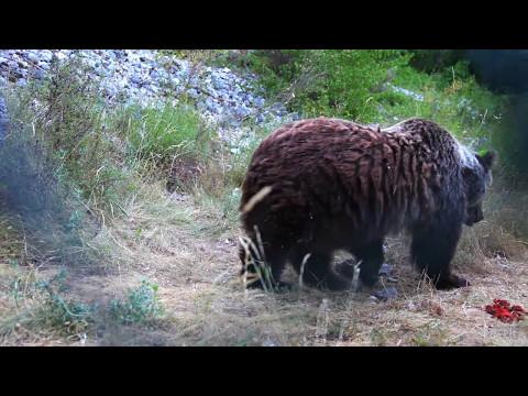 l'orso bruno marsicano: troppo bello!