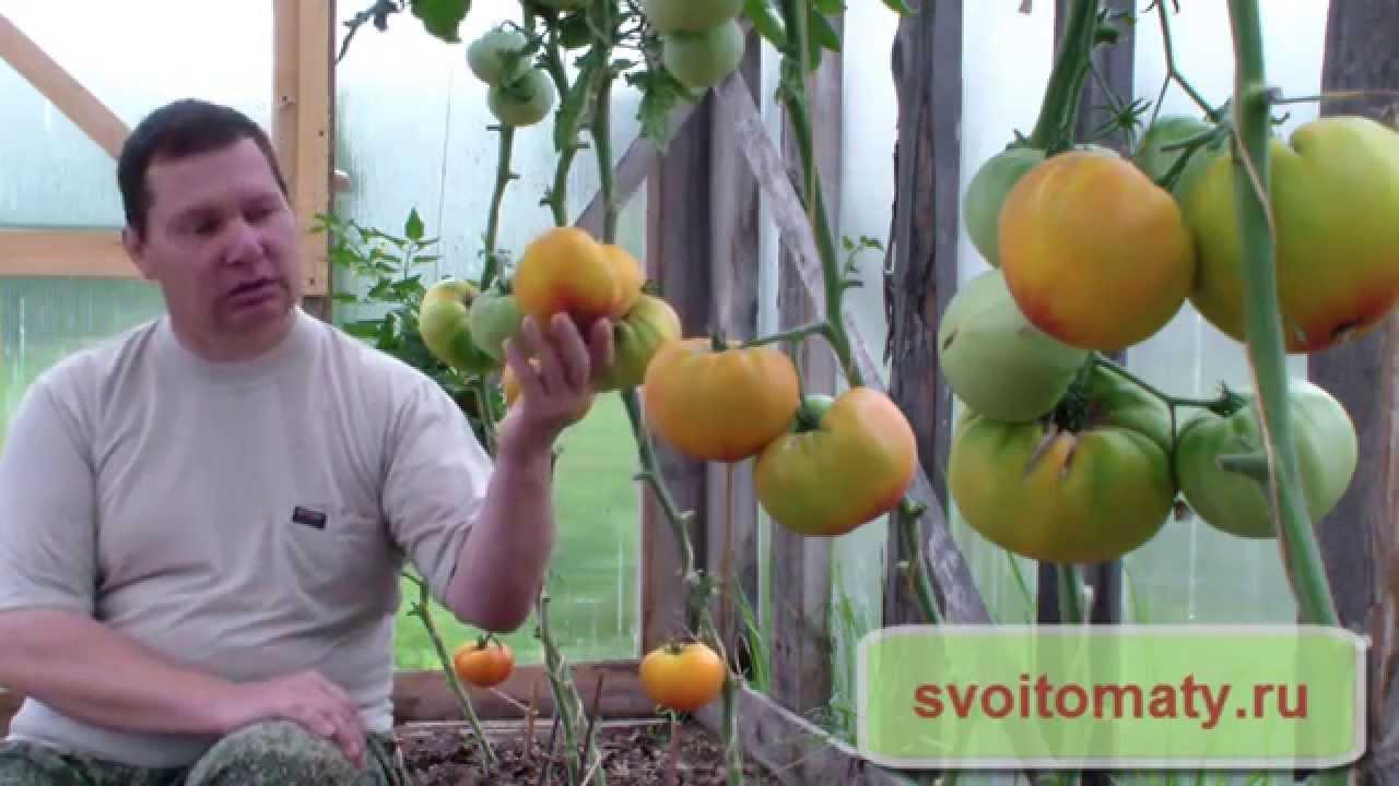 Смотреть онлайн:  Сорта томатов для выращивания в теплице
