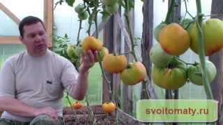 Низкорослые помидоры – лучшие сорта для теплиц
