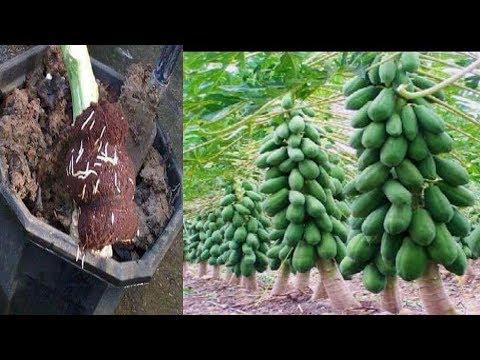 Apply papaya with coconut \ agri cambo