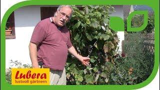 Das Auslauben der Traubenzone bei Tafeltrauben